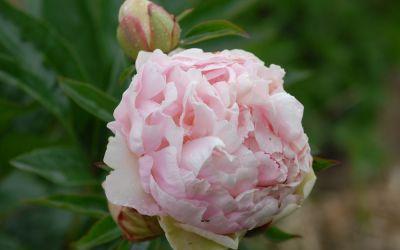 Paeonia lactiflora Norma Volz - Edel-Pfingstrose
