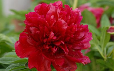 Paeonia Hybride Red Charm - Pfingstrose