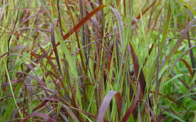 Panicum virgatum Shenandoah - Purpur-Rutenhirse