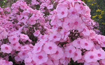 Phlox paniculata Herbstwalzer - Flammenblume, Hoher Sommer-Phlox