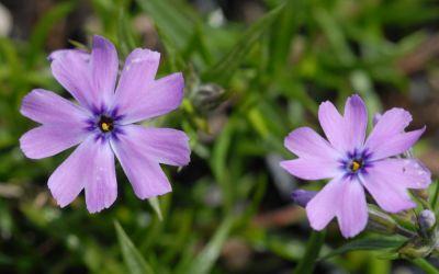 Phlox subulata Purple Beauty - Polster-Phlox, Teppich-Phlox