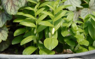 Polygonatum humile - Zwerg-Salomonssiegel