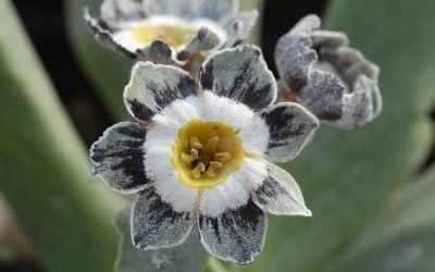 Primula Auricula-Hybride Alois ©Bock - Garten-, Schau-Aurikel