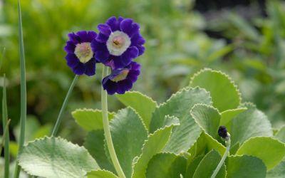 Primula Auricula-Hybride Blue Velvet - Garten-, Schau-Aurikel