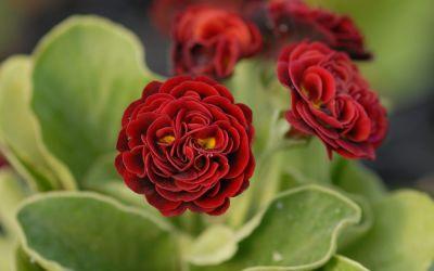 Primula Auricula-Hybride Crimson Glow - Garten-, Schau-Aurikel
