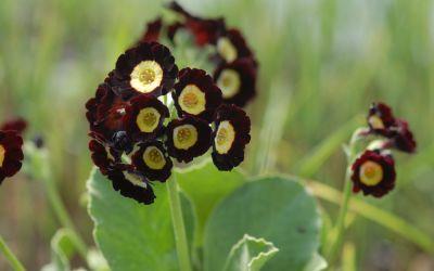 Primula Auricula-Hybride Lintz - Garten-, Schau-Aurikel
