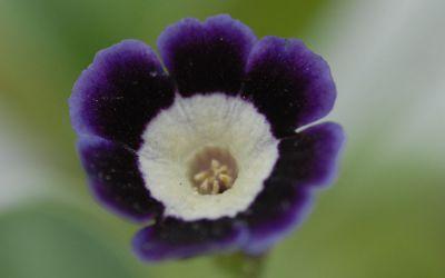 Primula Auricula-Hybride Mariandl ©Bock - Garten-, Schau-Aurikel