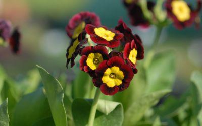 Primula Auricula-Hybride Vulcan - Garten-, Alpine Aurikel