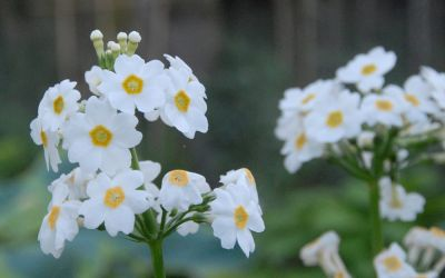 Primula japonica Alba - Etagen-Primel