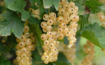 Weiße Johannisbeere Glasperle ® - Ribes rubrum