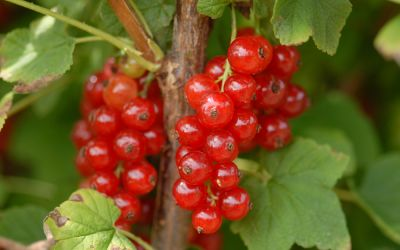 Rote Johannisbeere Sonette ® - Ribes rubrum