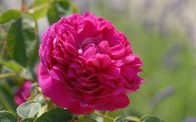 Rosa damascena Rose de Resht - Historische Rose, Strauch-Rose