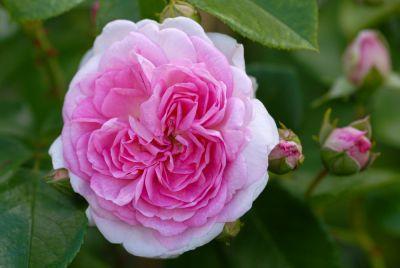 Rosa Jasmina ® - Kletter-Rose