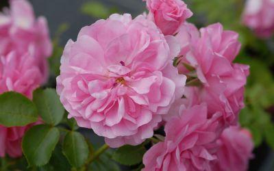 Rosa Uetersens Rosenprinzessin ® - Strauch-Rose