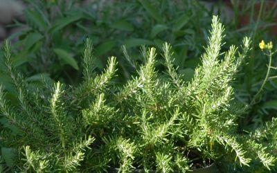 Rosmarinus officinalis Cinzago Bello - Rosmarin