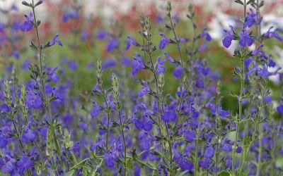 Salvia Hybride Blue Note - Salbei