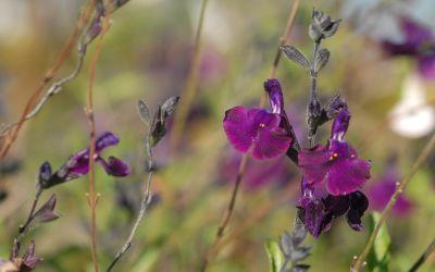 Salvia Hybride Nachtvlinder - Salbei