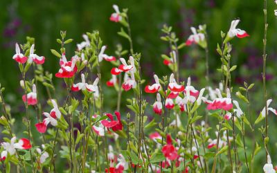 Salvia microphylla Hot Lips - Salbei