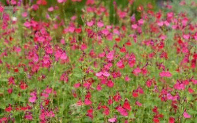 Salvia microphylla Purpur - Johannisbeer-Salbei