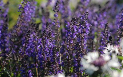 Salvia nemorosa Viola Klose - Garten-Salbei, Steppen-Salbei