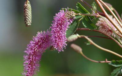 Sanguisorba hakusanensis - Japan-Wiesenknopf