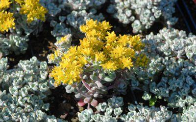 Sedum spathulifolium Cape Blanco - Silberspatel-Fettblatt
