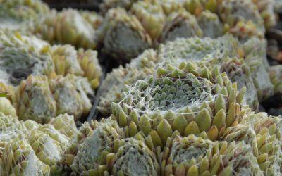 Sempervivum Arachnoideum-Hybride Silberkarneol - Spinnweb-Hauswurz, Dachwurz