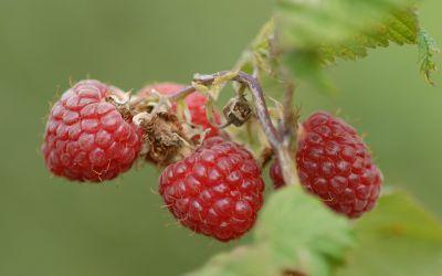 Sommer-Himbeere Sanibelle ® - Rubus idaeus - Früchte an 2-jährigen Ruten
