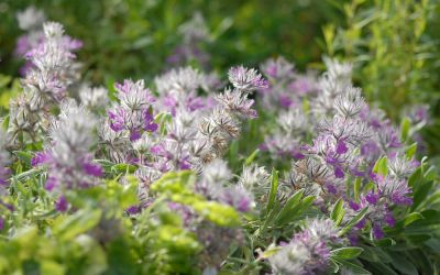 Stachys lavandulifolia - Lavendel-Ziest