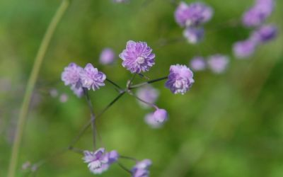 Thalictrum delavayi Hewitts Double - China-Wiesenraute
