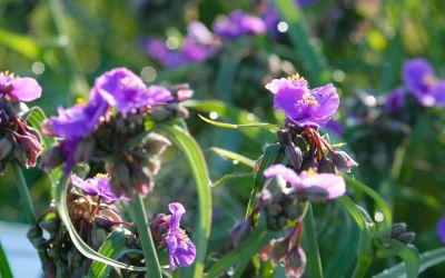Tradescantia x andersoniana Concord Grape - Dreimasterblume