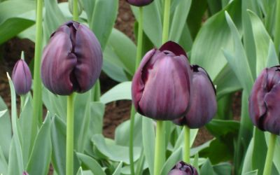 Tulipa Queen of Night - Einfache späte Tulpe