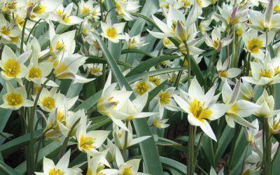 Tulipa turkestanica - Wildtulpe