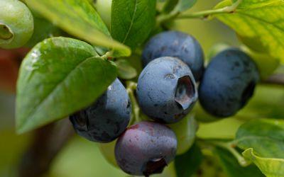 Heidelbeere Blueroma ® - Vaccinium corymbosum