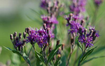 Vernonia crinita - Arkansas-Scheinaster