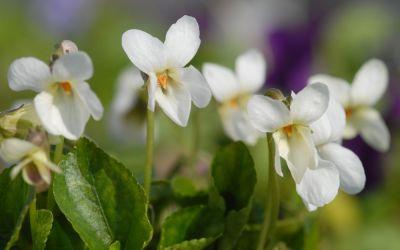 Viola odorata Alba - Duft-Veilchen