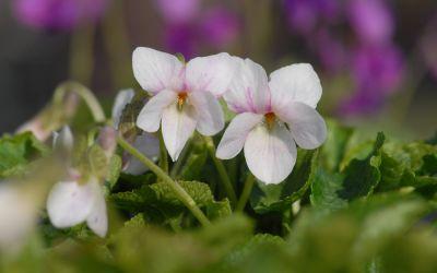 Viola odorata Mme Armandine Pages - Duft-Veilchen