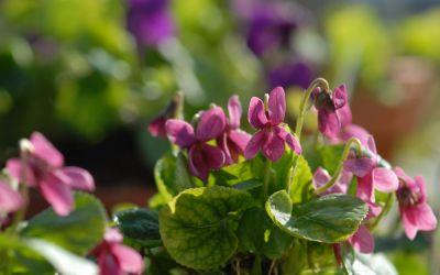 Viola odorata Perle Rose - Duft-Veilchen
