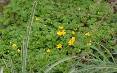 Waldsteinia fragarioides - Erdbeer-Waldsteinie