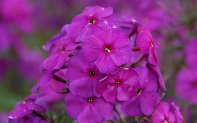 Phlox paniculata Düsterlohe - Flammenblume, Hoher Sommer-Phlox