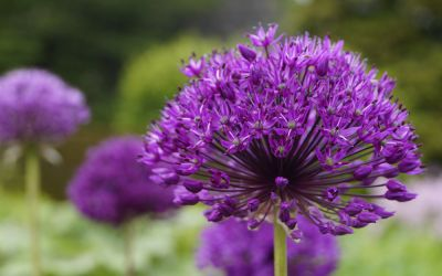 Allium aflatunense 'Purple Sensation' - Kugel-Lauch