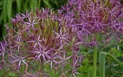 Allium christophii - Sternkugel-Lauch