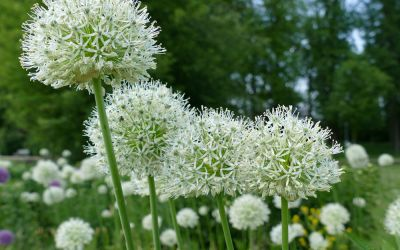 Allium Hybride Mount Everest - Riesen-Kugel-Lauch