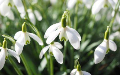 Galanthus nivalis  - Schneeglöckchen