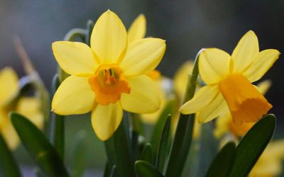 Narcissus Jetfire - Cyclamineus-Narzisse