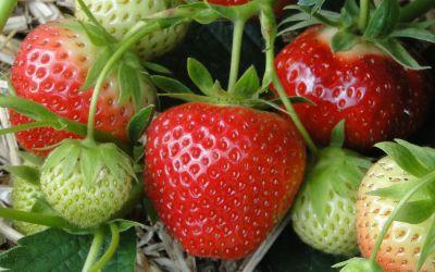 Fragaria x ananassa Vima Zanta - Erdbeere