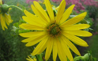 Silphium perfoliatum  - Becherpflanze, Harzkraut