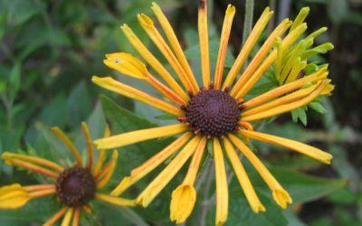 Rudbeckia subtomentosa Henry Eilers - Schwachfilziger Sonnenhut