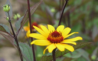 Heliopsis helianth. var. scabra Summer Nights - Sonnenauge