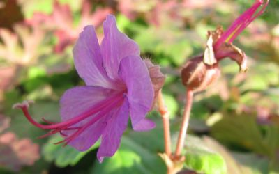 Geranium macrorrhizum Bevans Variety - Balkan-Storchschnabel